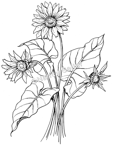Line Drawing Coneflower : Arrowleaf balsamroot balsamorhiza sagittata nancy seiler