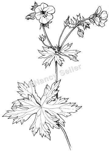 geranium flower drawing - photo #3