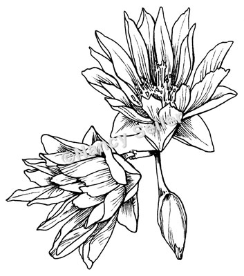 Bitterroot Flower Coloring Page