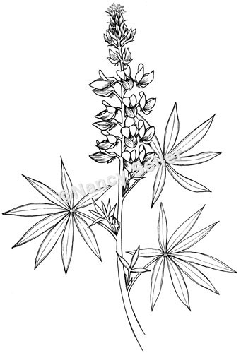 Lupine Coloring Page