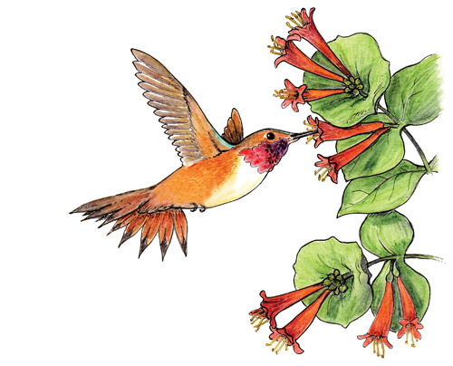 Rufous Hummingbird Lonicera ciliosa