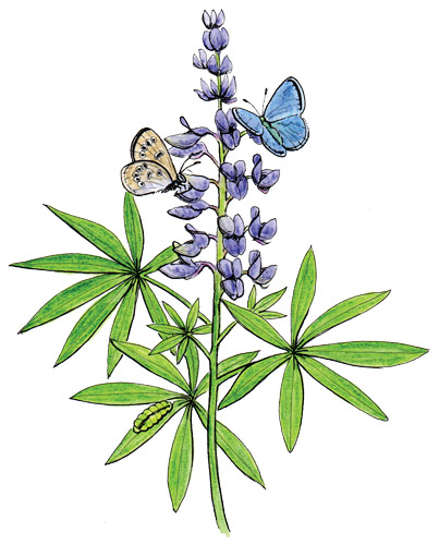 Silvery blue butterfly on lupine