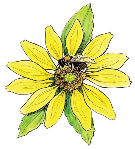 Western bumblebee on Maximilian sunflower