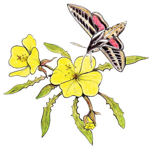 White-lined sphinx moth on evening primrose